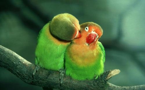 Lovebirds 2014